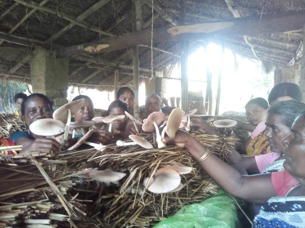 TSP-on-Paddy-Straw-Mushroom